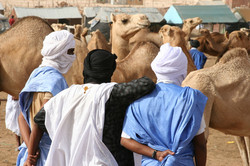 Camel market in Nouakchott