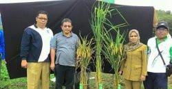 Beras Payo Kerinci akan Diluncurkan Sebagai Beras Nasional