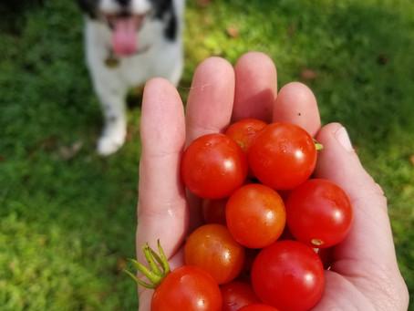 Adventures in Vegetable Gardening