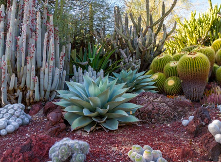 Difference between Cacti, Succulents, and Euphorbia