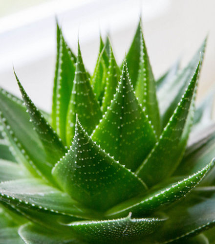aloe vera, aloe, easy plants, cute plants, easy care plant, plant help, fun plants, smartplant app