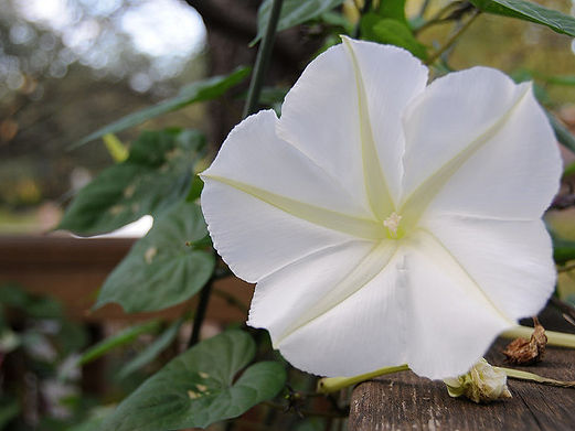 moonflower, cool indoor plants, garden help, pretty flowers, pretty plants, cool outdoor plants, romantic plants