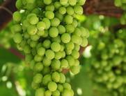 yeşil üzüm.jpg