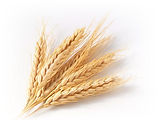 HarvestWheatWatermark822x615WatermarkGradient.jpg