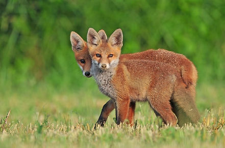 Two foxes looking at the camera