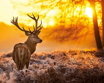 A stag in the sunset