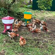 Rescue Chicks