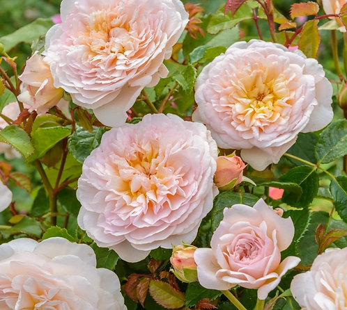 Mrs Rabbit's Roses Subscription Box ~ January