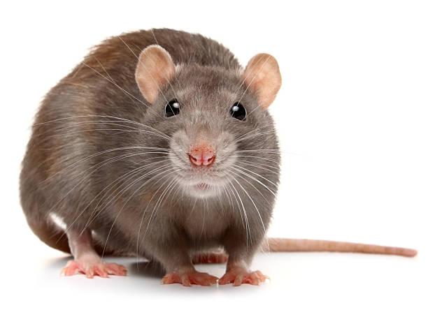 Rat Control Oxfordshire