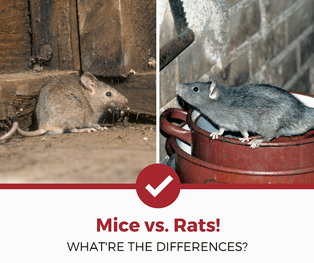 mice-vs-rats-differences.png