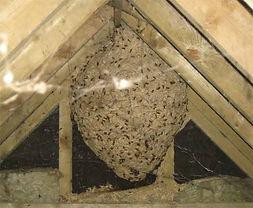 wasp_nest_in_loft.jpg