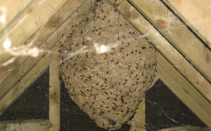 Wasp Nest Removed Oxford