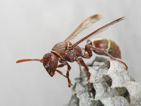 Wasp Control – Ways of Controlling Wasps