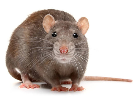 How to Know If You Have Rats or Mice?  What You Should Do Next | Pro Pest Oxford