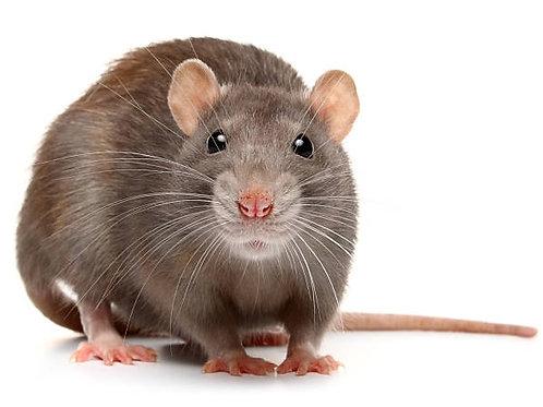 Rat Removal & Control