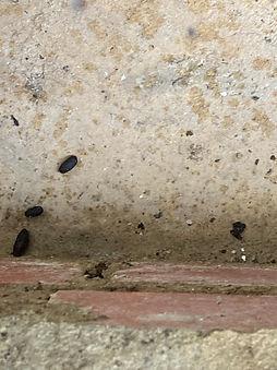 Rat droppings fresh.jpg