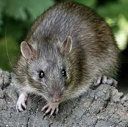 brown-rat-royalty-free-image-1004263036-