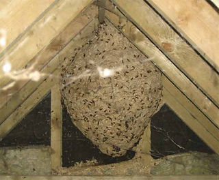wasp_nest_in_loft.jpg