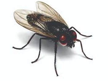 Flies: Controlling & Removal