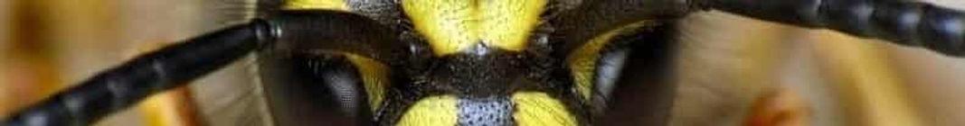 mzd2_400x300_Common_Wasp__Vespul-min_edi