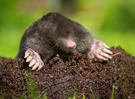 Eco Friendly Live Catch & Release Mole Control in Oxfordshire UK