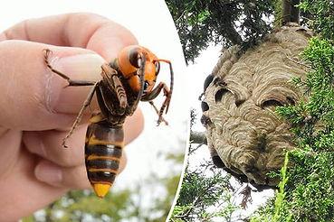 removing-a-hornets-nest (1).jpg