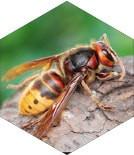 Wasps In My Loft