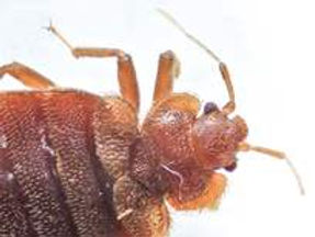 bed-bug-head-and-thorax.jpg