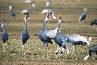 Cranes at Izumi.jpg