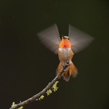 Angel hummer