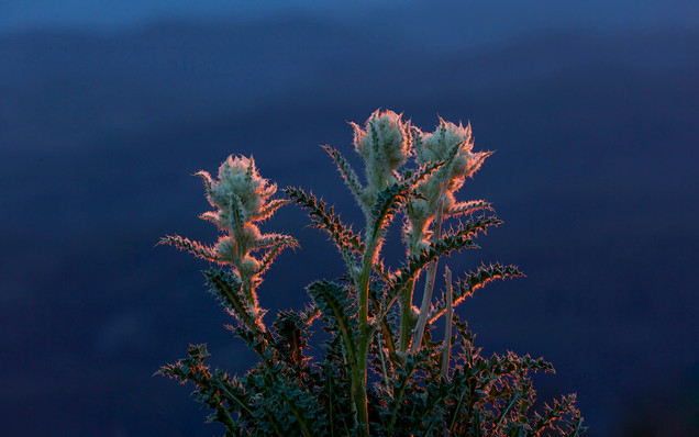 Alpine thistle in setting sun Clay Butte