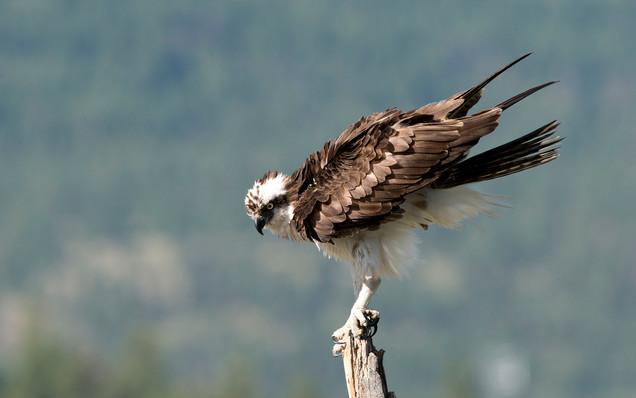 Osprey bowing