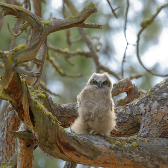 Baby owl old tree