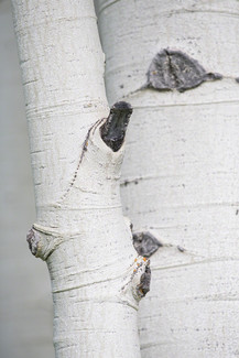 White aspen bark, detail