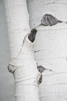 White aspen bark, detail