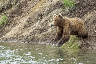 Brown Bear female diving into Brooks River