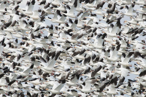 A spectacle of geese