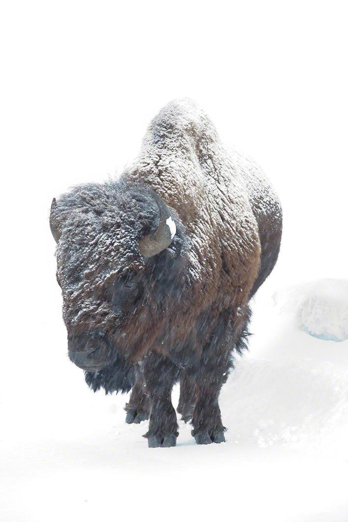 Snowy bison
