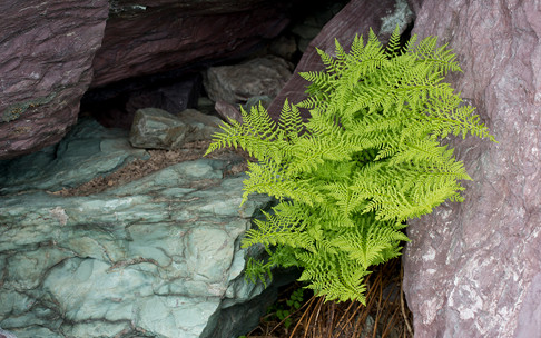 Young Lady Fern in ancient rocks, Glacier NP