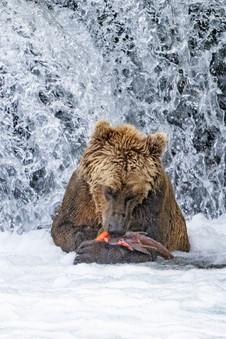Brown Bear eating salmon, Brooks Falls