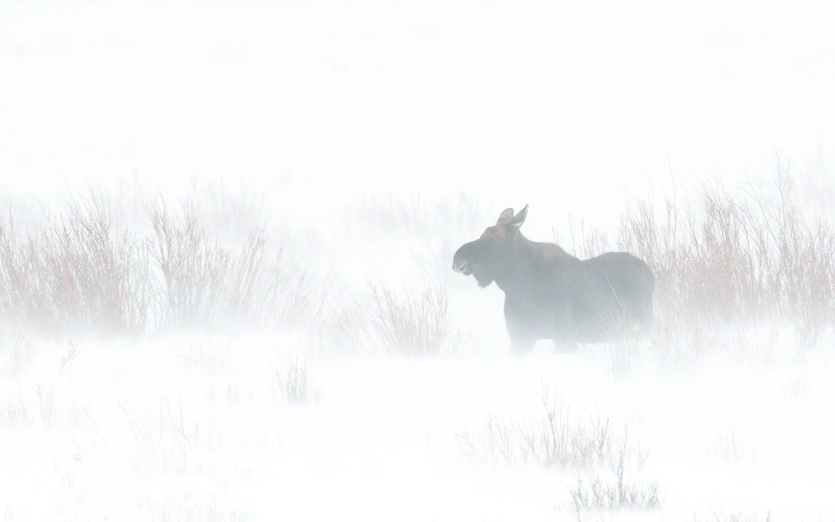 Moose windy snow