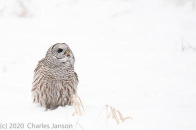 Focused: Barred Owl 6