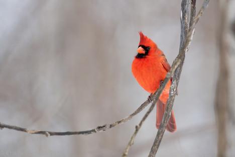 male cardinal Technoparc