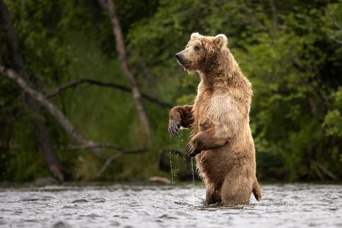 Brown Bear standing, Brooks River