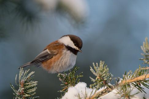 CB chickadee winter postcard