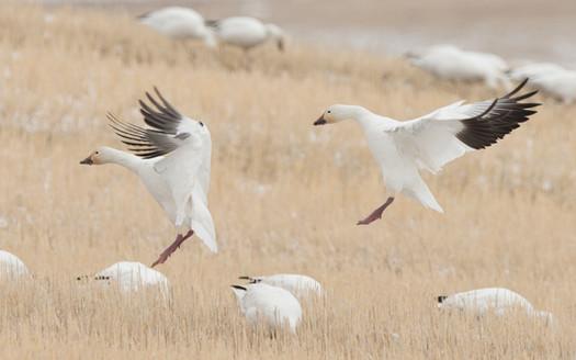 White geese landing pair