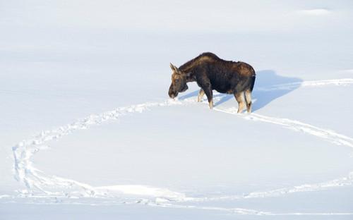 Moose in snow circle