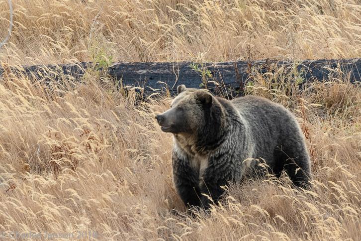 female Grizzly Bear YNP