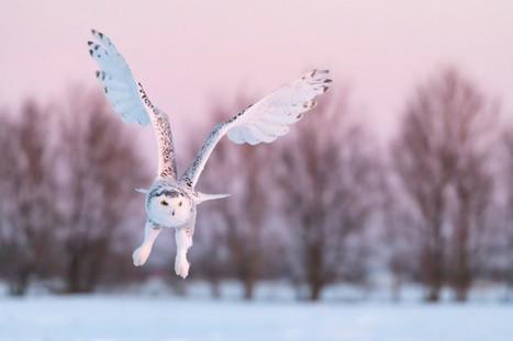 Female snowy owl pre-dawn flight