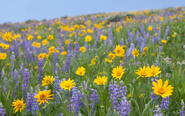 Yellowstone sunflowers and lupines